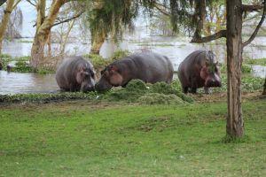 hippos3